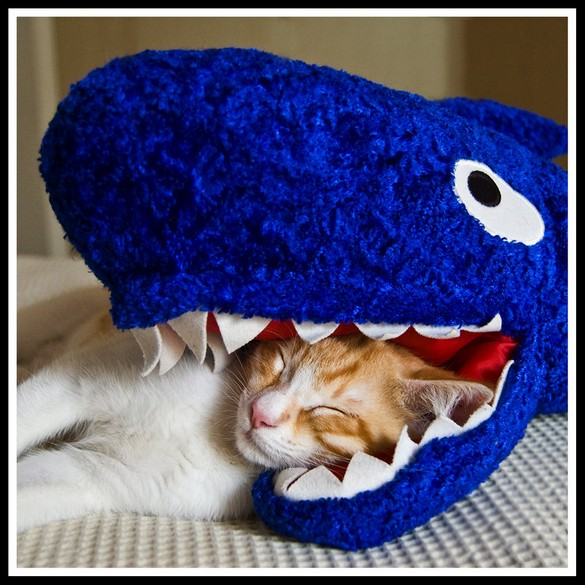 cat-head-shark