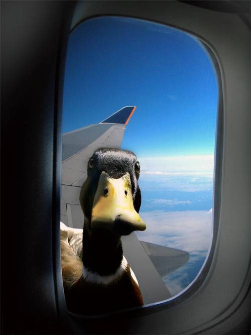 duck-window-plane
